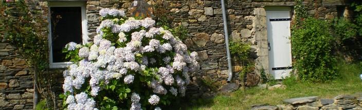Les hortensias de la cour